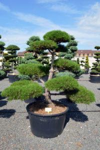 1533 - Borovice černá pravá - Pinus nigra nigra