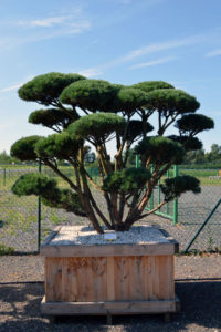 1535 - Borovice lesní - Pinus sylvestris 'Watereri'