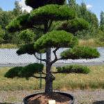 1539 - Borovice černá pravá - Pinus nigra nigra