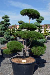 1540 - Borovice černá pravá - Pinus nigra nigra