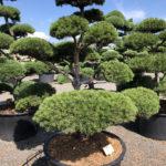 1541 - Borovice lesní - Pinus sylvestris