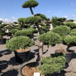 1542 - Borovice lesní - Pinus sylvestris