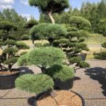 1546 - Borovice lesní - Pinus sylvestris