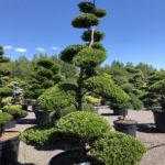 1547 - Cesmína vroubkovaná - Ilex crenata 'Green Hedge'