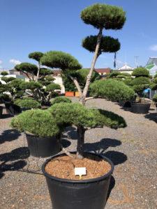 1548 - Borovice lesní - Pinus sylvestris