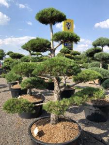 1549 - Borovice lesní - Pinus sylvestris