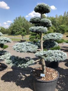 1550 - Smrk pichlavý - Picea pungens 'Hoopsii'