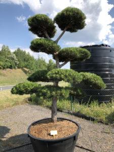 1551 - Borovice černá pravá - Pinus nigra nigra