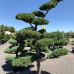 1552 - Borovice drobnokvětá - Pinus parviflora 'Glauca'