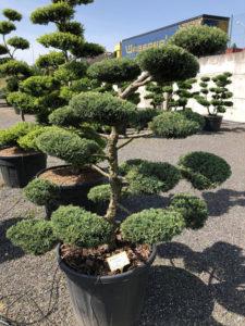 1554 - Jalovec prostřední - Juniperus media 'Hetzii'