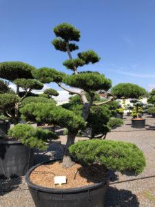 1556 - Borovice pokroucená - Pinus contorta