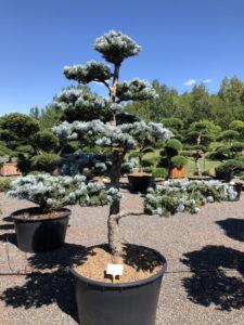1557 - Smrk pichlavý - Picea pungens 'Hoopsii'
