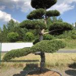1558 - Borovice černá pravá - Pinus nigra nigra