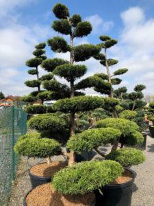 1559 - Jalovec čínský - Juniperus chinensis 'Kuriwao Gold'