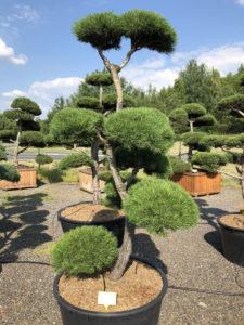 1560 - Borovice lesní - Pinus sylvestris