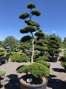 1562 - Cesmína vroubkovaná - Ilex crenata 'Green Hedge'