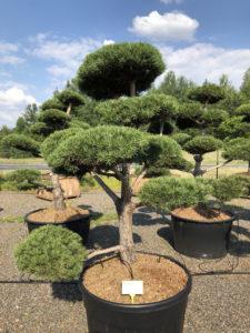 1563 - Borovice lesní - Pinus sylvestris