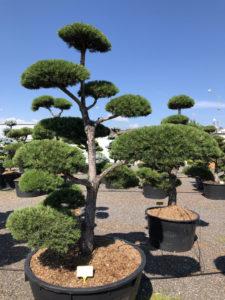 1564 - Borovice lesní - Pinus sylvestris