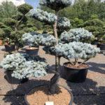 1565 - Smrk pichlavý - Picea pungens 'Hoopsii'