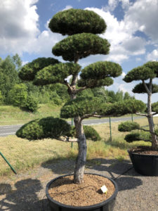 1566 - Borovice černá pravá - Pinus nigra nigra