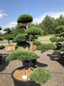 1569 - Borovice lesní - Pinus sylvestris