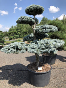 1570 - Smrk pichlavý - Picea pungens 'Hoopsii'