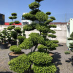 1572 - Cesmína vroubkovaná - Ilex crenata 'Green Hedge'