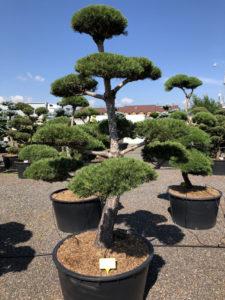 1573 - Borovice lesní - Pinus sylvestris