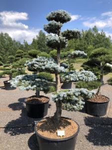 1574 - Smrk pichlavý - Picea pungens 'Hoopsii'