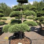 1577 - Borovice lesní - Pinus sylvestris