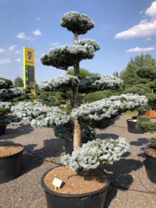 1578 - Smrk pichlavý - Picea pungens 'Hoopsii'