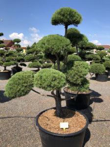 1579 - Borovice lesní - Pinus sylvestris