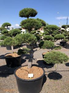 1582 - Borovice lesní - Pinus sylvestris