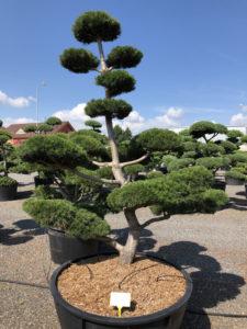 1583 - Borovice pokroucená - Pinus contorta