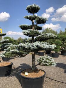 1584 - Smrk pichlavý - Picea pungens 'Hoopsii'