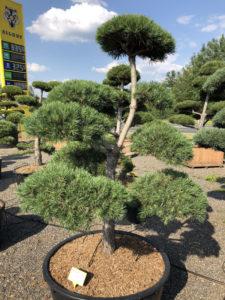 1585 - Borovice lesní - Pinus sylvestris