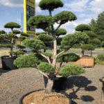 1587 - Borovice lesní - Pinus sylvestris
