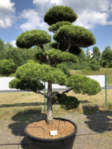 1589 - Borovice černá pravá - Pinus nigra nigra