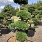 1590 - Borovice lesní - Pinus sylvestris