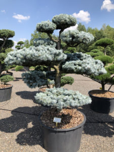 1591 - Smrk pichlavý - Picea pungens 'Hoopsii'