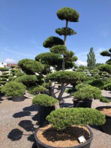1592 - Borovice pokroucená - Pinus contorta
