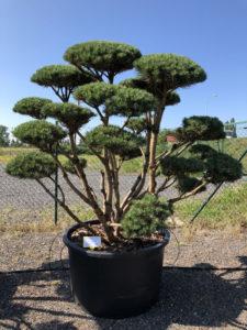 1594 - Borovice lesní - Pinus sylvestris 'Watereri'