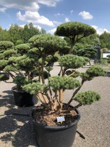 1595 - Borovice lesní - Pinus sylvestris 'Watereri'