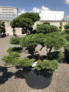 1597 - Borovice kleč - Pinus mugo 'Gnom'