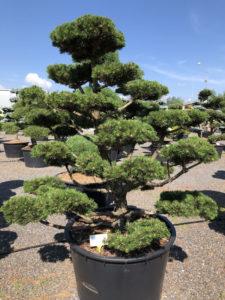 1598 - Borovice kleč - Pinus mugo 'Gnom'