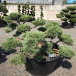 1599 - Borovice lesní - Pinus sylvestris 'Repens'