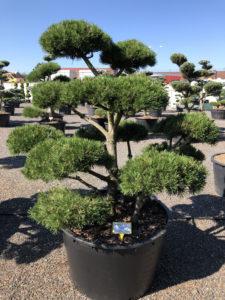 1601 - Borovice kleč - Pinus mugo 'Gnom'
