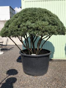 1602 - Borovice lesní - Pinus sylvestris 'Watereri'