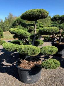 1603 - Jalovec prostřední - Juniperus media 'Hetzii'