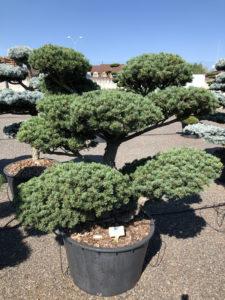 1604 - Borovice drobnokvětá - Pinus parviflora 'Tempelhof'